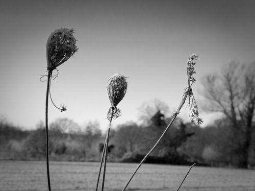 lauko gėlės,augalas,sausas,laukas,Uždaryti,aštraus gėlė,makro,tamsi,atmosfera,gamta,makro šaudymas,juoda ir balta,ruduo