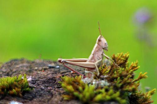 field grasshopper chorthippus parallelus grasshopper