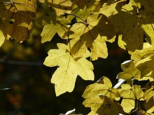 field maple acer campestre deciduous tree