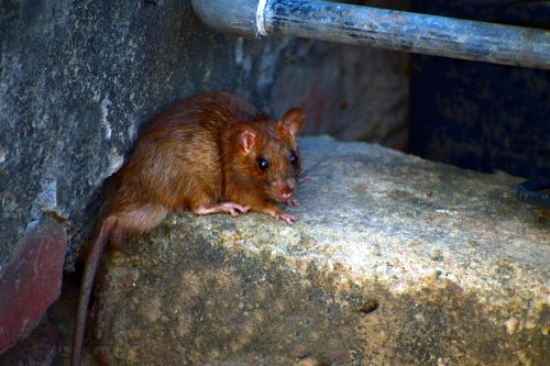 field mouse mus booduga rodent