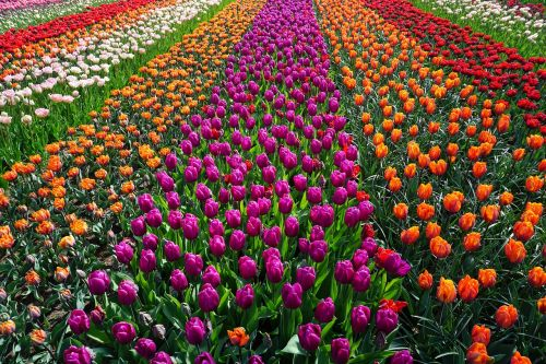 field of flowers tulips holland