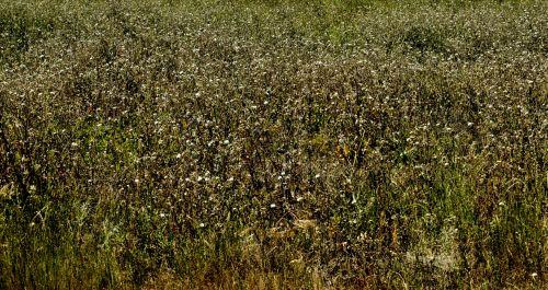 Field Of Golden Weeds Background