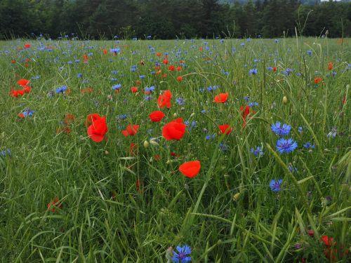 field of poppies kornblumenfeld klatschmohnfeld