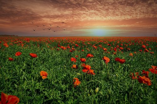 field of poppies evening sun sunset