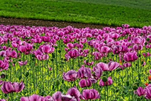field of poppies  opium poppy  flowers