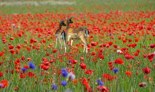 field of poppies  deer  photomontage