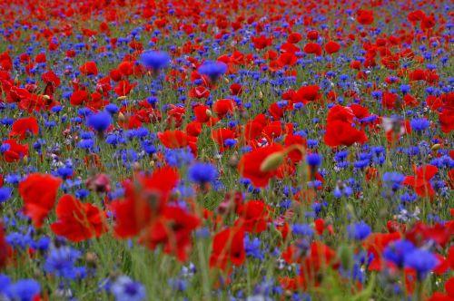 field of poppies cornflowers summer