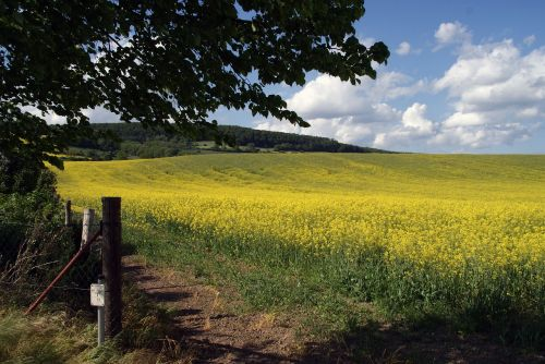 field of rapeseeds oilseed rape field