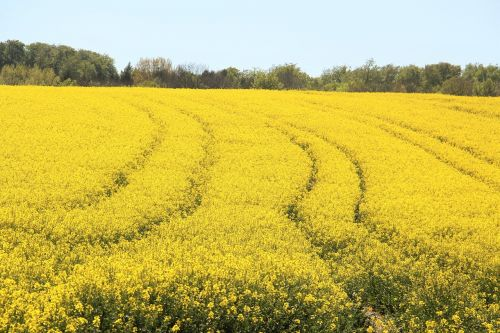 field of rapeseeds in bloom yellow
