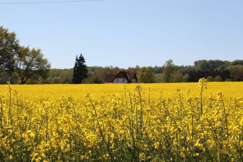 field of rapeseeds in bloom farm