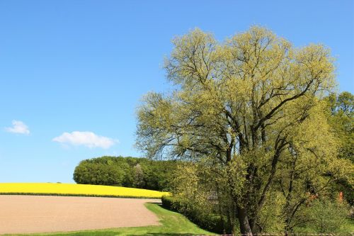 field of rapeseeds tree in blossom in bloom
