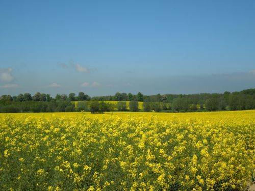 field of rapeseeds blue sky yellow