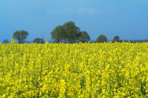 field of rapeseeds oilseed rape rare plant