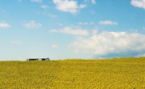 field of rapeseeds oilseed rape summer