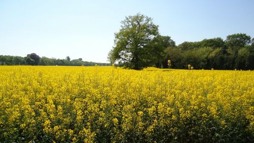 field of rapeseeds yellow renewable energy