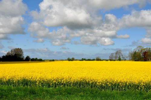 field of rapeseeds oilseed rape fehmarn