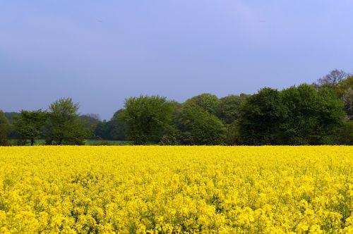 field of rapeseeds oilseed rape brassica napus