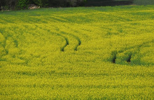 field of rapeseeds  field  agriculture
