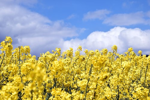 field of rapeseeds  sky  clouds