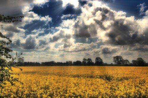 field of rapeseeds  oilseed rape  landscape