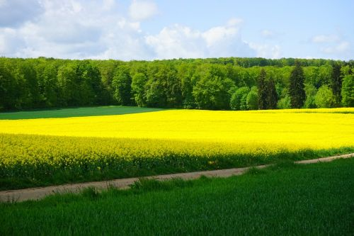 field of rapeseeds nature landscape