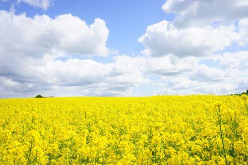 field of rapeseeds sky clouds