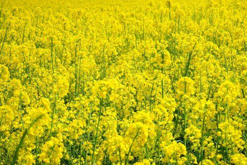 field of rapeseeds oilseed rape blütenmeer