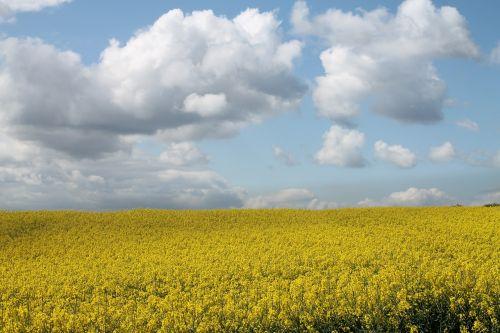 field of rapeseeds nature oilseed rape
