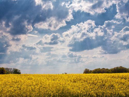 field of rapeseeds sky yellow