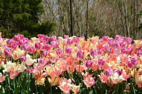 laukas tulpių,gėlės,pavasaris,žydi,gražus,grožis,natūralus,sodas,žiedas
