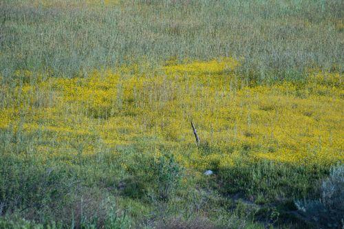 Field Of Yellow Mustard
