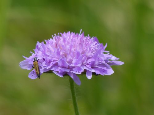 field scabious blossom bloom