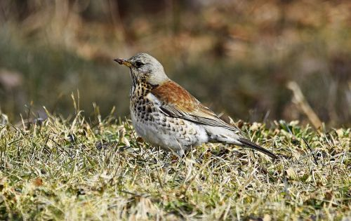 fieldfare bird february
