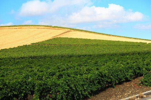 fields plantations wheat