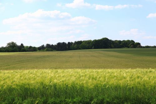fields wheat cereals