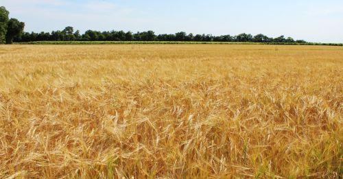fields wheat wheat fields