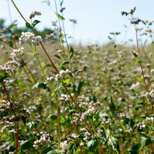 fields  buckwheat  nature