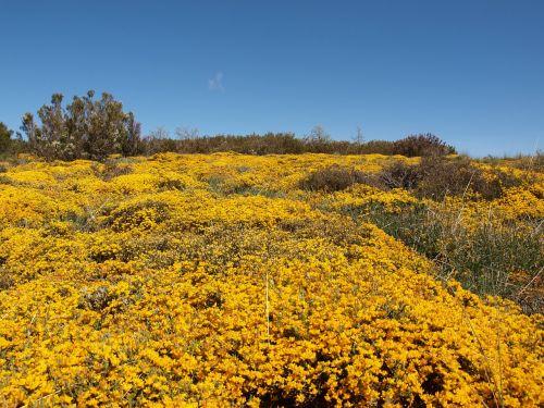fields flower yellow
