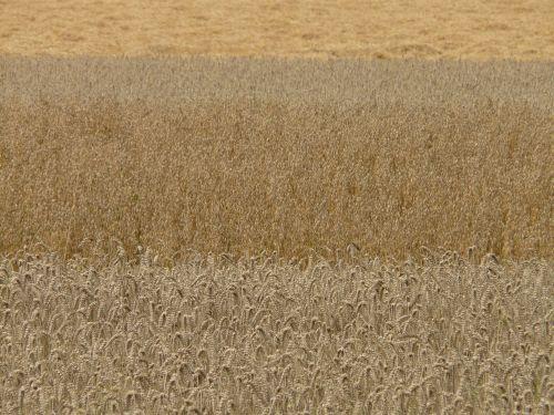 fields cereals grain