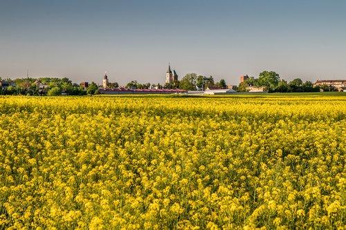 fields of blooming rapeseed  yellow fields  village