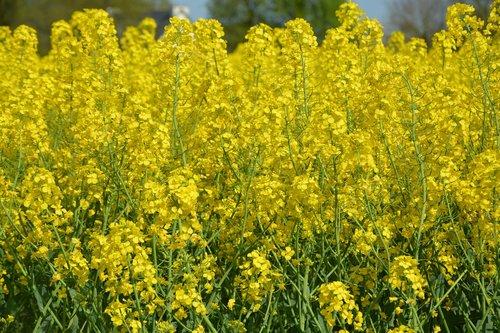 fields rapeseed  culture  rapeseed flowers