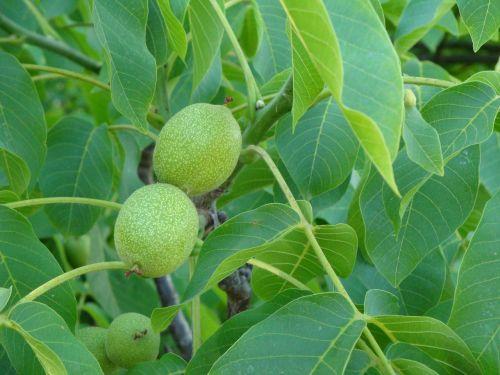 walnut tree walnuts tree