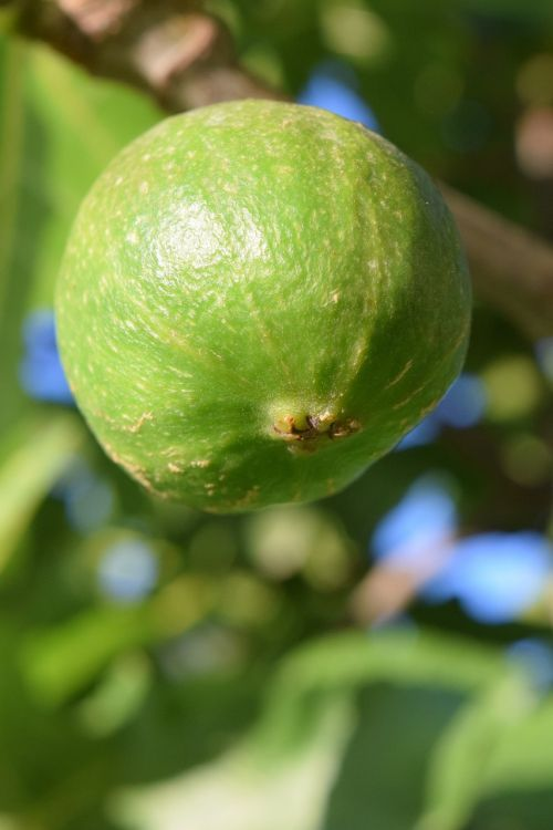 fig immature green