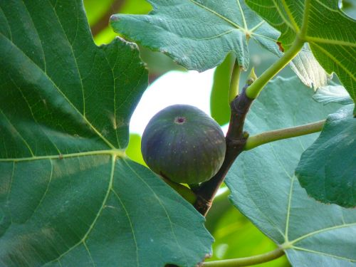 fig fig fruit true