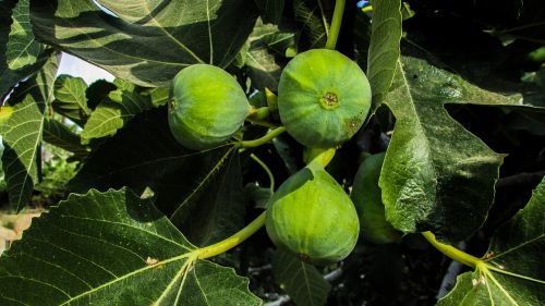 fig fig tree fruit