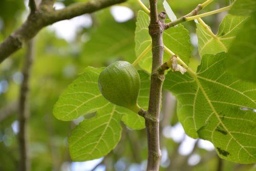fig fig tree tree