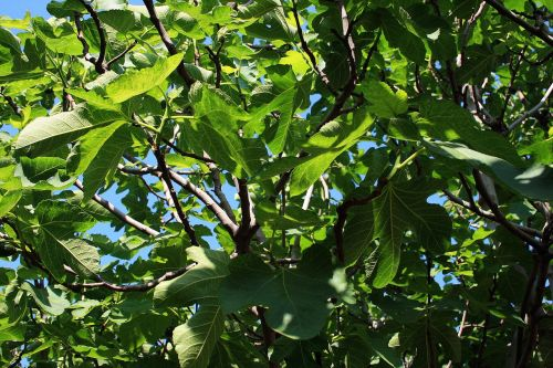 fig tree branches