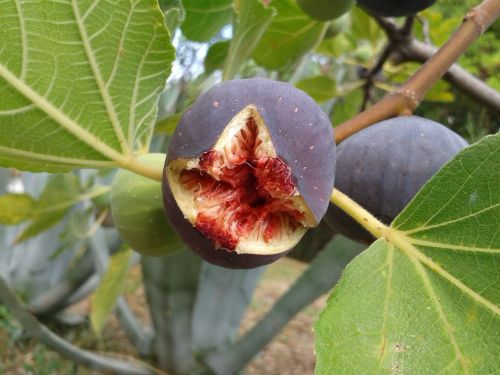 fig fruit real coward