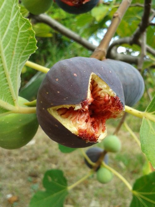 fig fig tree real coward