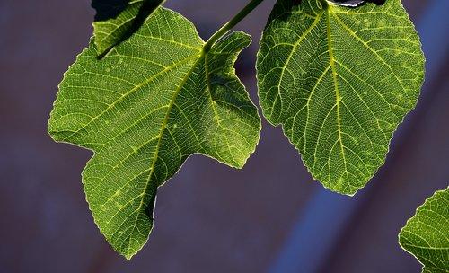 fig leaves  leaves  backlighting